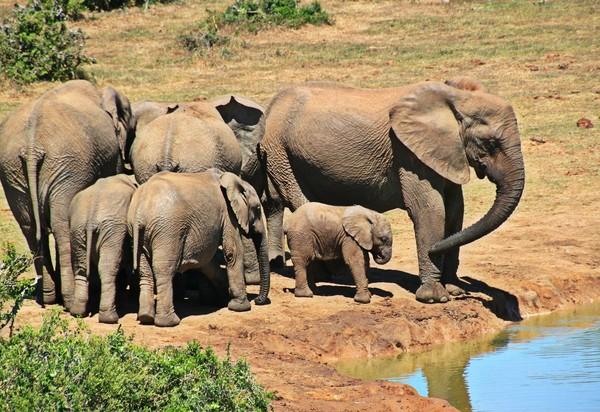 ▲▼ 大象,象群。(圖/取字免費圖庫pixabay)