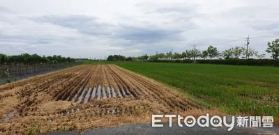 辛苦種稻半年嘉義農喜迎豐收季 他走到田一看傻眼「已經被收割了」
