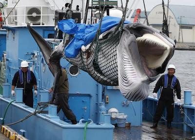 日本「重啟捕鯨」第一天 北海道漁船抓回2頭小鬚鯨!