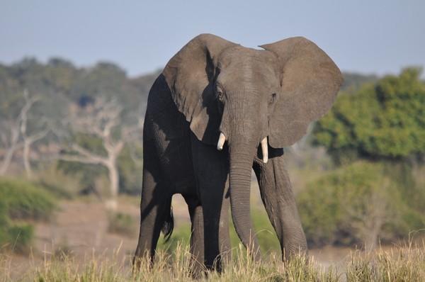 大象。(圖/取自免費圖庫Pixabay)