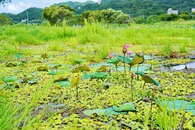 樹林柑園河濱公園復活 雙北夏日限定4處免費賞荷景點