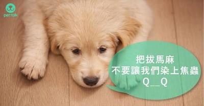 讓狗狗貧血又厭食的「犬焦蟲症」 你絕對不會想讓毛孩得到的病
