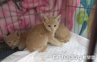 貓肚超大以為懷孕!獸醫一摸「子宮肌瘤」 「寵物結紮」超重要