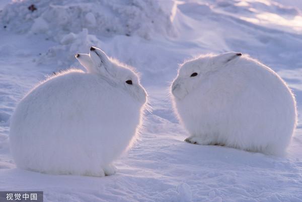 ▲▼圓滾滾「北極兔」!起身後網友全傻眼 太可愛了(圖/CFP)