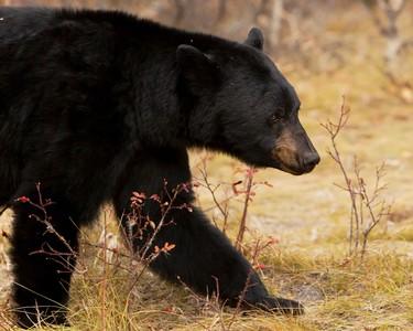 媽步出家門…一秒「與黑熊對視」狂尖叫! 一人一熊超慌張轉身奔逃