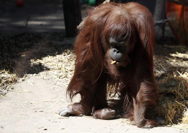 ▲▼紅毛猩猩Sandra。(圖/達志影像/美聯社)