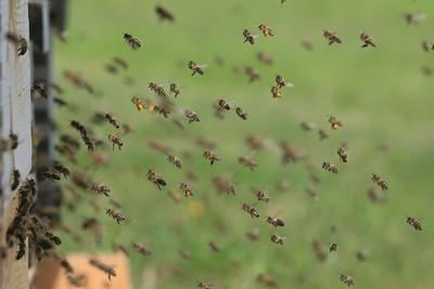 家中養大量蜜蜂! 四處亂竄還「飛進孕婦家」 鄰居扯回:民俗療法要用的