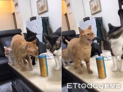 能量飲放桌上 橘貓以為是罐罐「哈氣橫掃」...3貓直接被彈開!