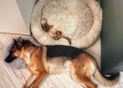 雪貂愛上狼犬…以為彼此是同類 主人無奈:雙眼每天被閃瞎