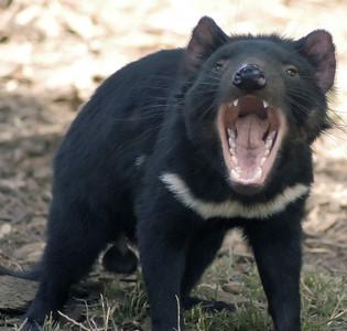 慶幸找回塔斯馬尼亞「惡魔袋獾」! 澳洲小島恢復生態平衡
