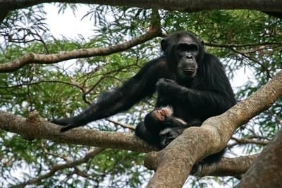母親懷中搶走2歲童「剖肚摘腎臟」 棲地越來越小…黑猩猩開始獵殺人類幼童