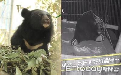 廣原小母熊「自製彈簧窩」賴床睡覺 照養員還目睹牠翹腳