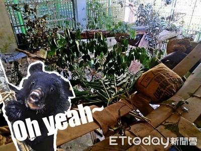照養員扛樹枝、藏食物豐富環境!讓台東2黑熊樂玩「捉迷藏」