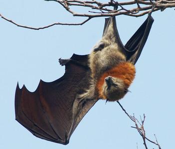 澳洲大火2000隻小狐蝠餓死!蝠媽媽被迫棄子 生態危機竟衝擊無尾熊