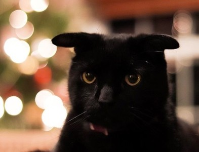 """黑小豬天生與超平坦的""""飛機耳朵""""貓邊緣超極端邊緣…原因很簡單。"""