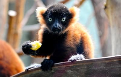 傳播植物種子完全取決於它的馬達加斯加狐猴,如果他們消失,對雨林生態有毀滅性的影響。