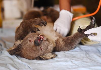澳洲野火吞噬!無尾熊恐將「瀕臨絕種」 網提議:遷去紐西蘭