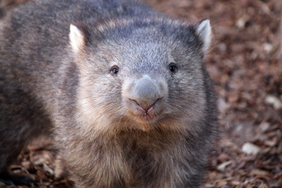 提供地洞躲山火 袋熊意外成澳洲小動物「救命英雄」
