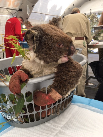 ▲一場大火使袋鼠島內無尾熊數量大幅減少。(圖/路透社)