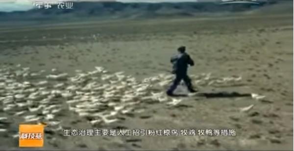 邊境養雞練就「滅蝗絕招」! 百萬隻鬥雞「出征除害」網讚翻