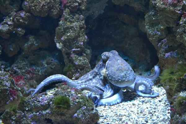 潛海底近距觀察!大章魚「反擊」畫面曝光 GoPro發滋滋聲…陣亡了