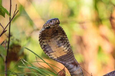 鄉民好心救出墜井昏迷男 褲管竟然緩緩爬出…劇毒眼鏡蛇!