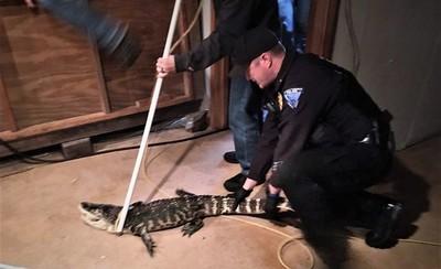 小鱷魚關地下室養25年 長成1.5公尺巨鱷主人嚇到報警!