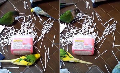 一轉頭見文鳥開「棉花棒派對」超嗨 飼主淚:我什麼都沒看到