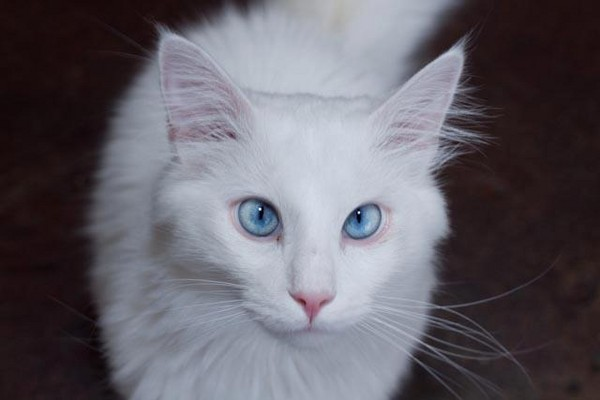 白 貓 h 版