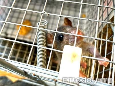 避免感染漢他病毒 加強捕鼠滅鼠落實防鼠三不政策