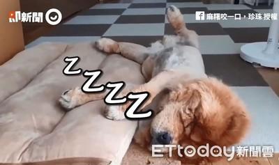 鬆獅睡到四腳開開「流出床外」 下秒驚醒來回呆望:偶是誰
