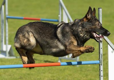 美國首隻新冠確診的狗狗 德國牧羊犬「巴迪」去世