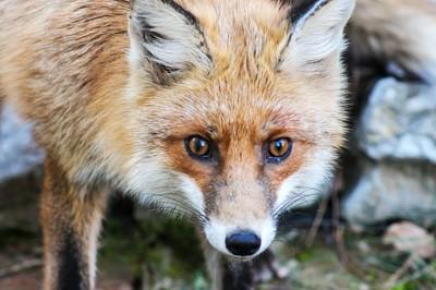 狐狸瘋狂偷鞋!犯案現場起出100多雙...網笑:原來牠喜歡這一味
