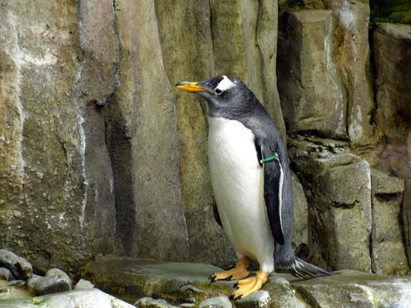 ▲企鵝。(示意圖/取自免費圖庫Pixabay)