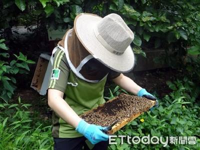 新興「城市養蜂」夏天餵糖水、花粉餅 義大利蜂好入門
