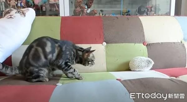 ▲眾貓首次「聞到刺蝟」像看到鬼!橘貓親密接觸完,嚇到舌頭忘了縮。(圖/翻攝自YouTube/辛卡米克。)