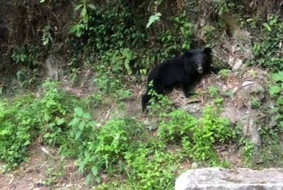 黑熊現身南橫公路!滑下山壁看見人類嚇一跳 奮力攀爬萌照曝光