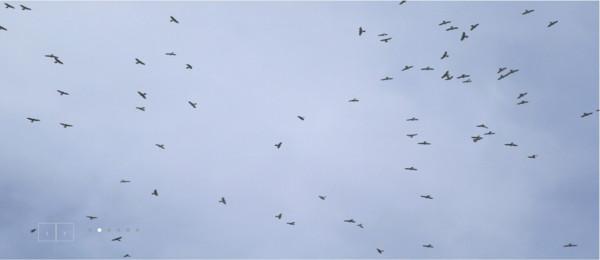 墾丁赤腹鷹單日7.1萬隻過境 宛如「鷹河」…創32年來紀錄