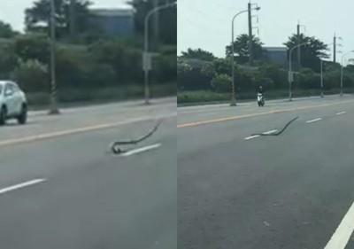 屏東1m大蛇馬路跳舞!上下扭動一度騰空 內行人曝2原因導致