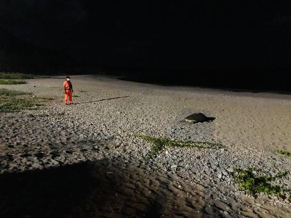 蘭嶼驚現綠蠵龜上岸產卵 海巡暖心「全程守護到凌晨」