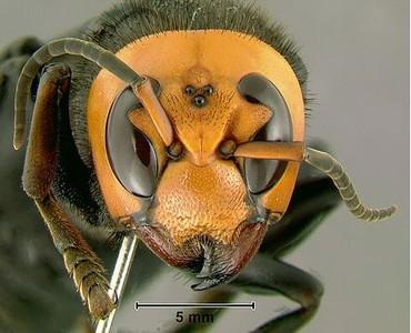 像老虎一樣兇猛!「亞洲巨型殺人蜂」入侵美國 發現史上第1個蜂巢