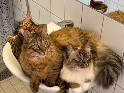 貓是液體做的?3萌喵硬擠洗手台 網喊:不要被沖走啊!