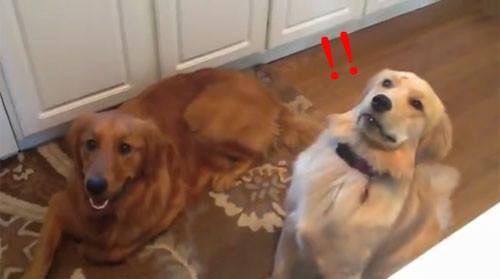 黃金獵犬不會接零嘴 空拋點心被嚇出一臉怪表情