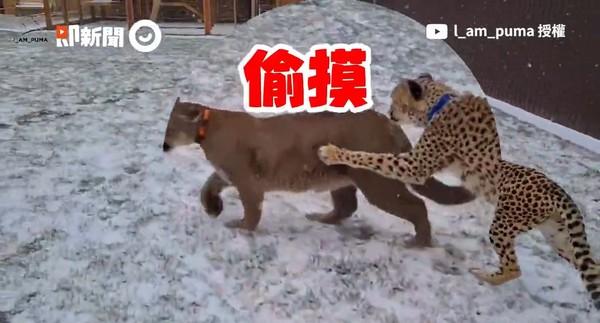 ▲俄羅斯夫婦養「獵豹+美洲獅」 2大貓初遇追逐、拍臀萌翻網。(圖/即新聞/Youtube頻道「I_am_puma」)