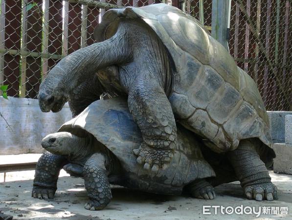 ▲▼動物園亞達伯拉象龜軟腿難繁殖! 「爬坡練腿力」7年未翻車。(圖/臺北市立動物園提供)