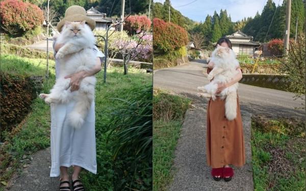 ▲▼巨無霸貓貓「haku」讓網友看了都嘖嘖稱奇。(圖/翻攝自推特/WeUADL1Ws02osvw)