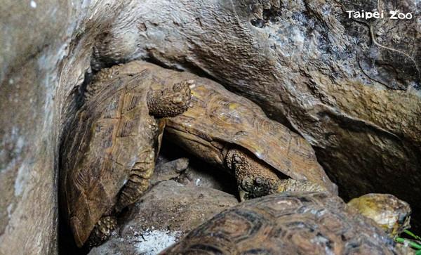 ▲卡住了!餅乾龜「倒立插石縫中」驚呆遊客 動物園:誤會。(圖/臺北市立動物園提供)