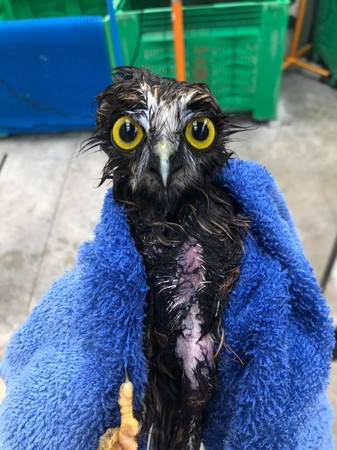 ▲貓頭鷹皮膚感染洗藥浴! 淋濕後「裸體消風」怒瞪醫:還我衣服啦。(圖/翻攝自Facebook/Wildbase)