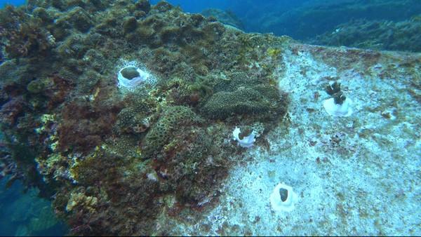 ▲後壁湖挖珊瑚。(圖/邱文傑提供)