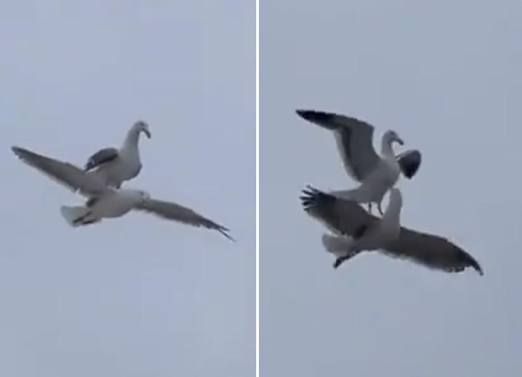 ▲▼國外近日一段「海鷗騎海鷗」的9秒影片受到關注。(圖/翻攝自推特)